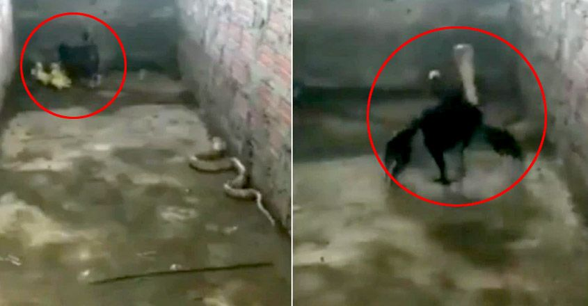 Mother hen fights fierce battle with cobra to save her chicks