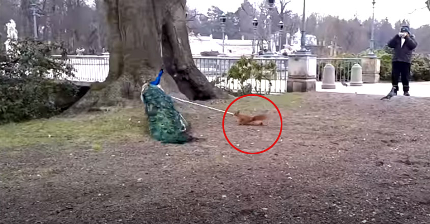 Peacock bitten by a squirrel