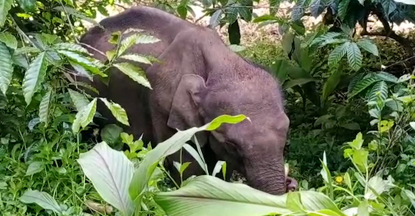 This stranded elephant calf finds the village an abode