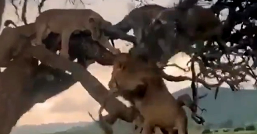 This lion's showing off in front of the females failed miserably