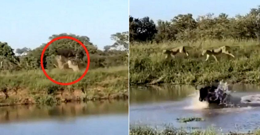 Wildebeest Taking Incredible High Jump To Escape Lions Breaks Internet