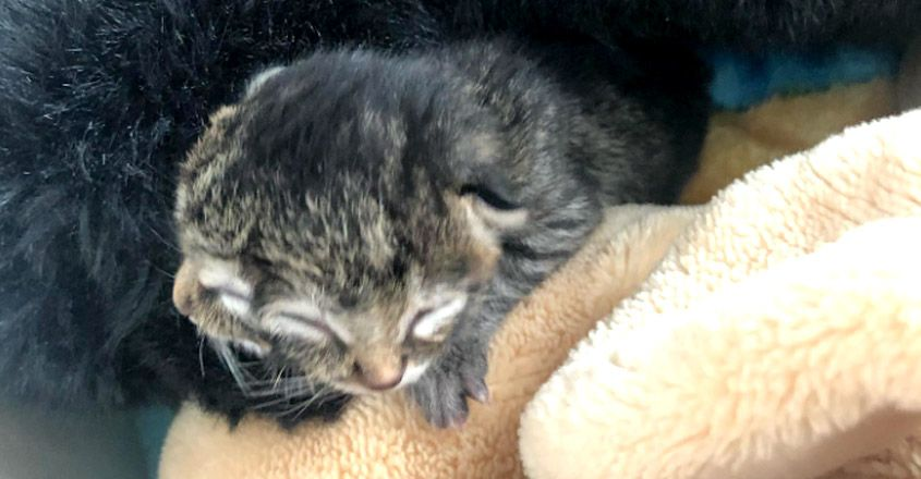 Two-Faced Kitten Nicknamed Biscuits & Gravy Born In Oregon