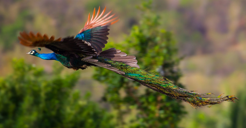 peacock flying at the Ranthambore National Park is crazy