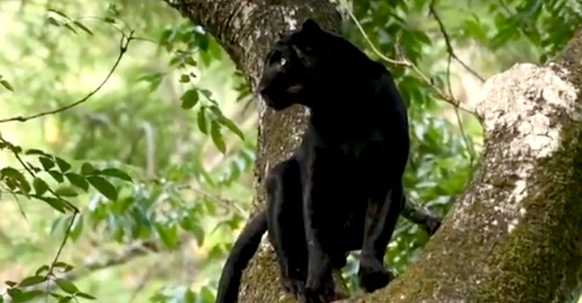 Black panther sitting on tree goes viral