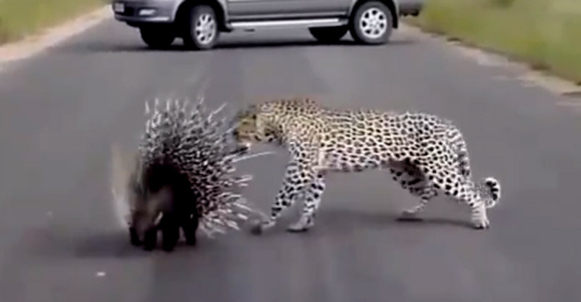 Leopard having a hard time with a Porcupine