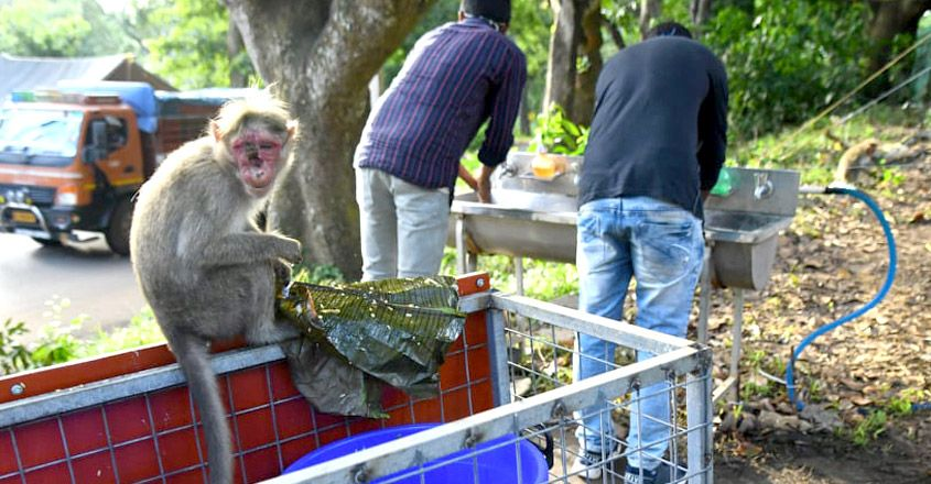 Monkey with disfigured face spotted in Wayanad