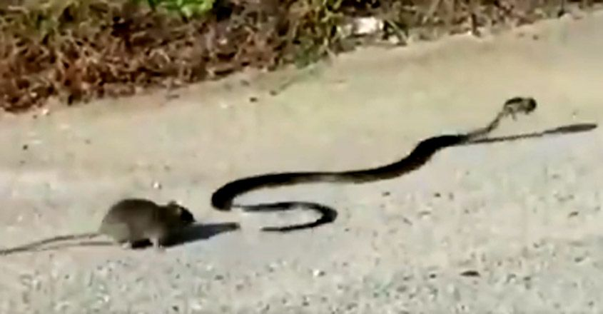 Mother rat chases away snake to protect baby