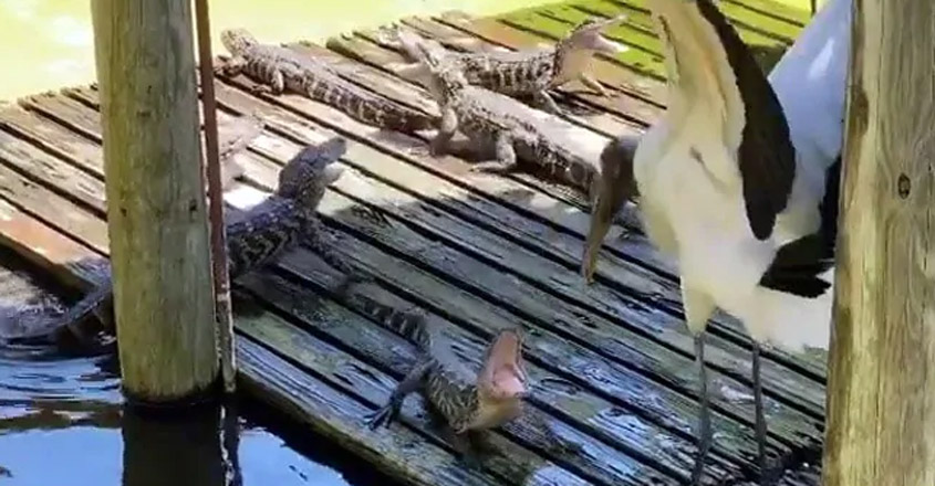 What Happened When Little Alligators Took On A Gigantic Stork