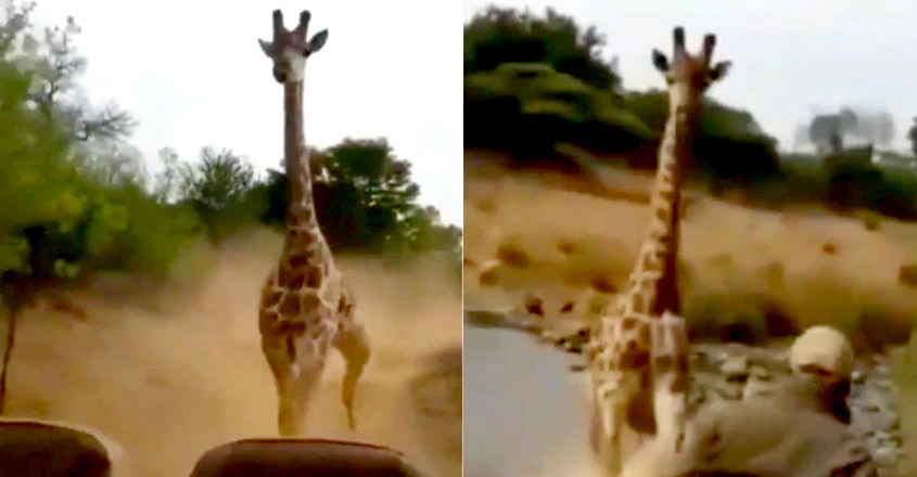 Ever seen giraffe chase a car, catch up and charge towards it?