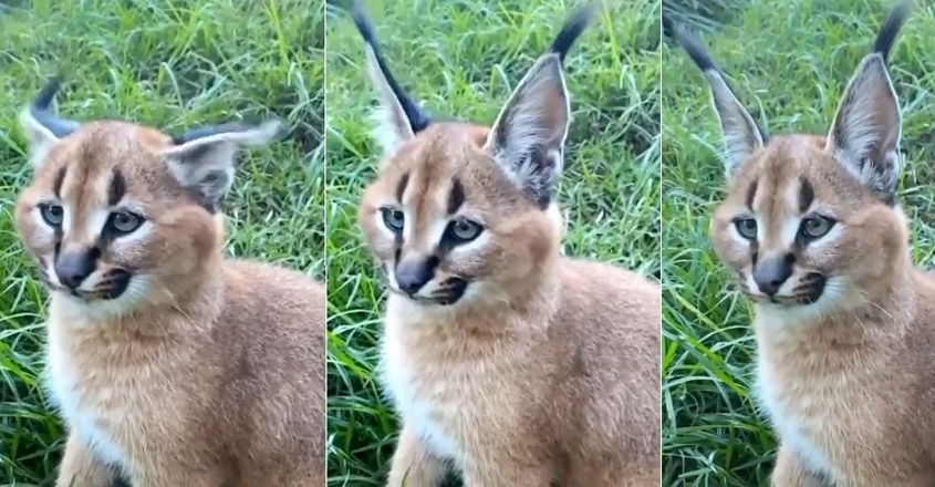 Caracal Beautifully Twitches Ears