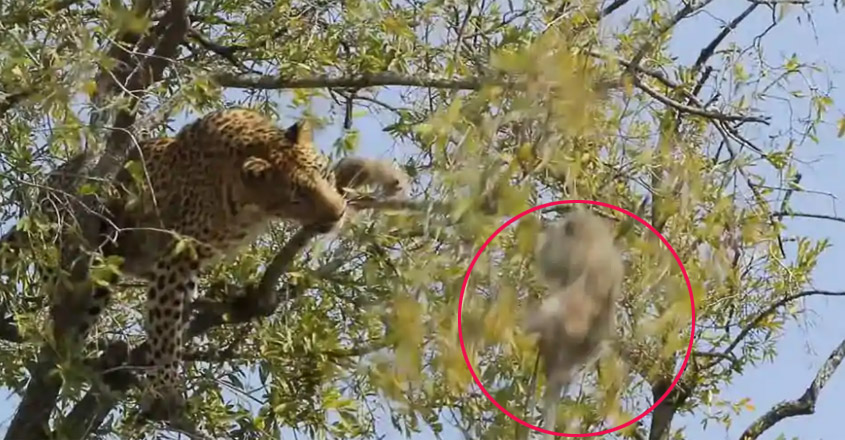 Leopard Tries To Shake Monkey Down From Tree