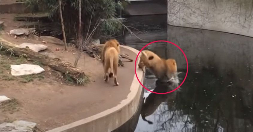 Lion falls into the water in zoo