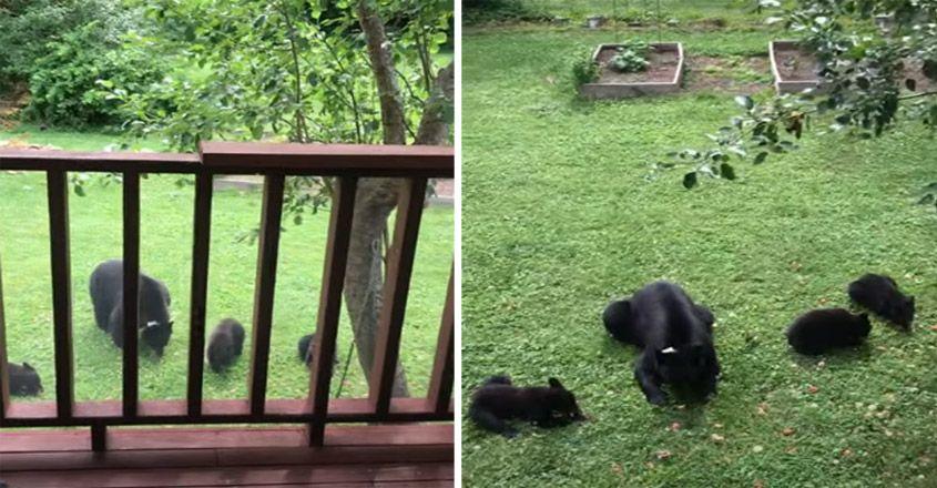 Bear and Cubs Fill Up on Fallen Apple