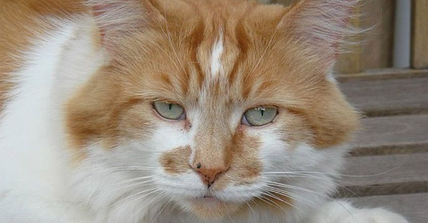 The world's oldest cat has died at an incredible 31 years old