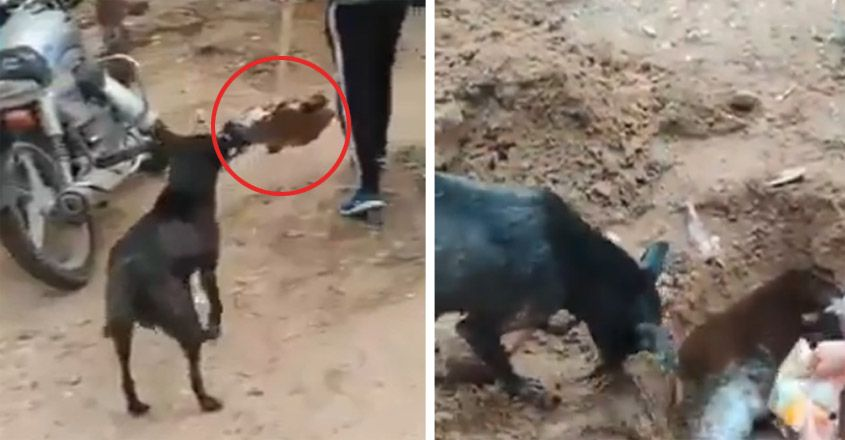 Mother dog badly grieves over the death of a little dog