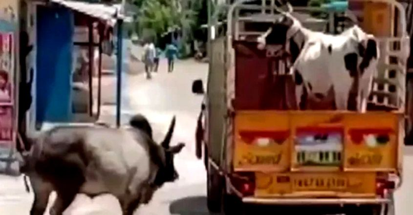 Manjamalai, a bull, tries to stop vehicle carrying away his friend Lakshmi, a cow