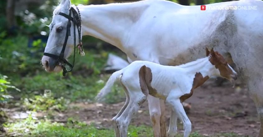 New born Pony attracts everyone in Paravur