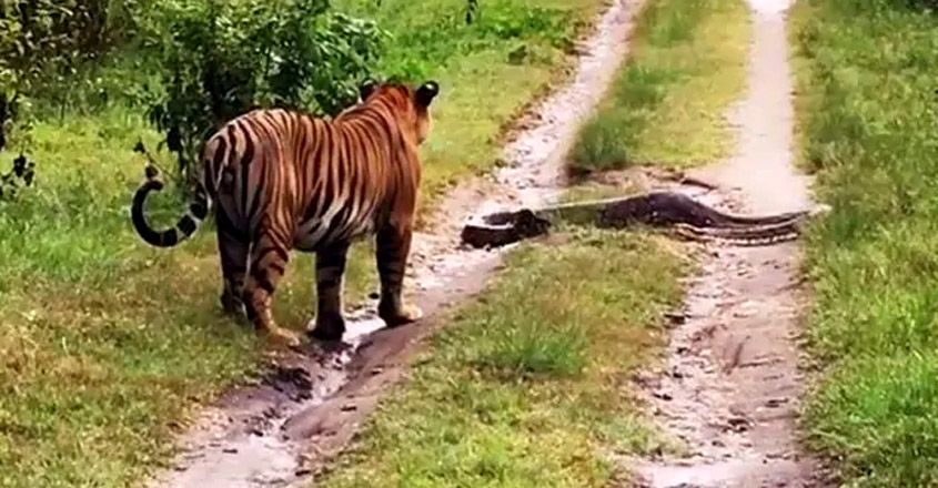 What Happened When A Tiger Came Across A Huge Python In Karnataka
