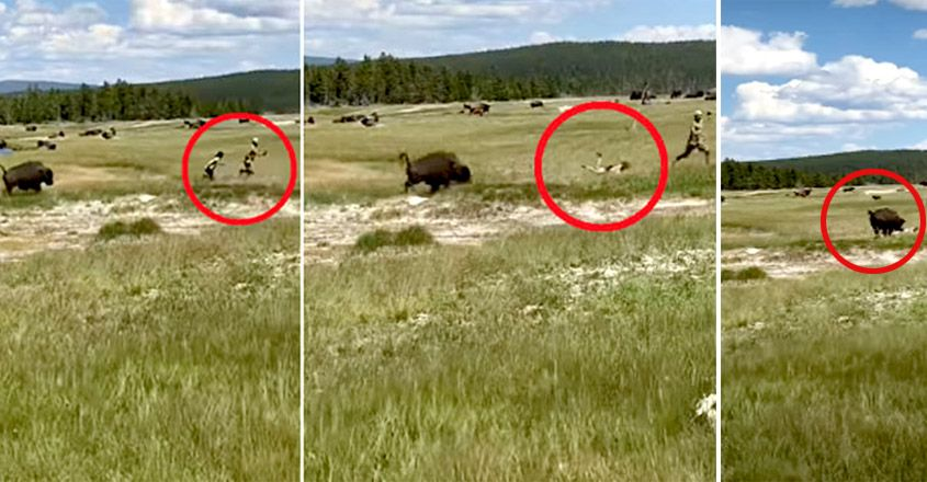 , Tourist Trips And Falls While Fleeing Charging Bison
