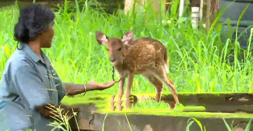 Stranded deer fawn rescued by forest department