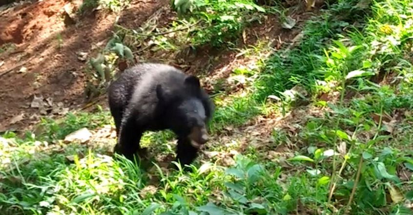 Wild Bear At Kadakkal