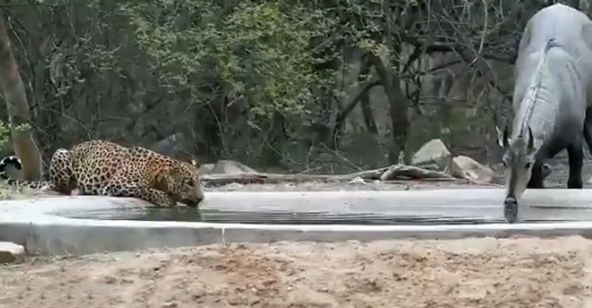 A leopard and a nilagai drinking water from a same pond at a time
