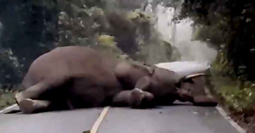 Elephant Takes Its Afternoon Nap In Middle Of The Road