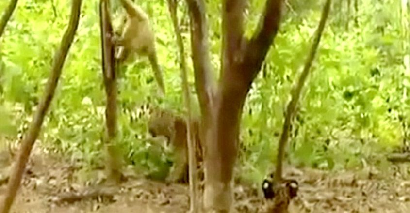 Gibbon teases tiger cubs in forest. Hilarious old video goes viral