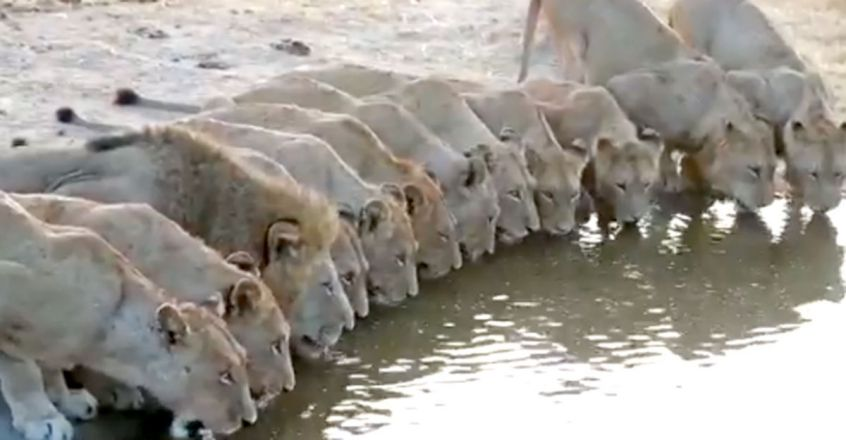 Lion pride drinks at a waterhole together