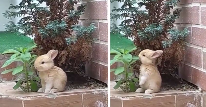 A rabbit eating leaves in peace
