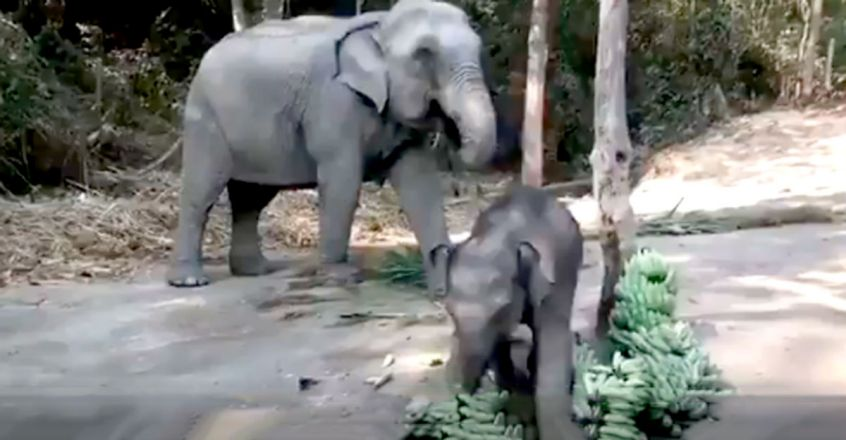 Baby elephant plays with bananas in adorable video