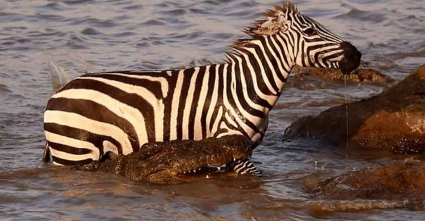 Zebra makes lucky escape from a crocodile's jaws while crossing a river in Kenya