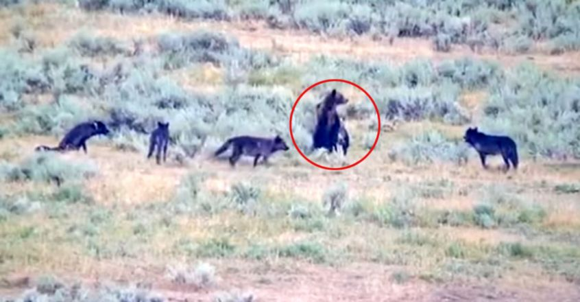 Mother grizzly bear protects her cubs against pack of wolves