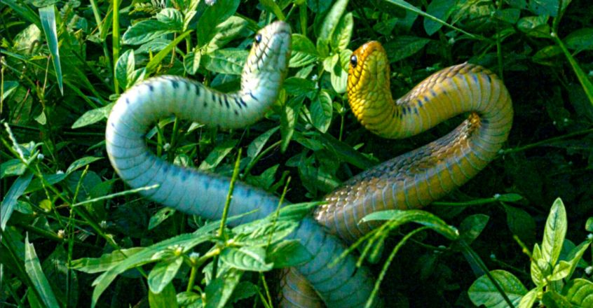 Two huge rat snakes in a fight for dominance