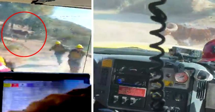 Firefighters Battling Wildfire Chased By Bull In Hair-Raising Video