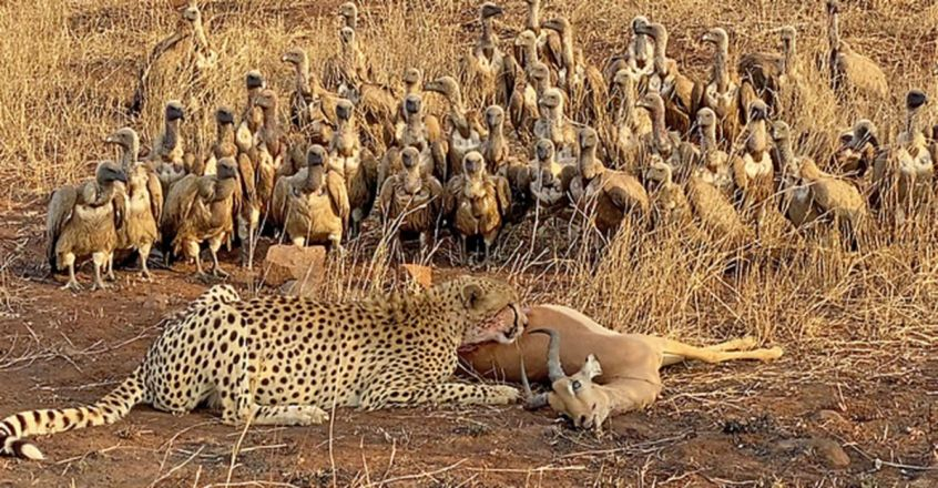 Half an Impala Tries Escaping Cheetah