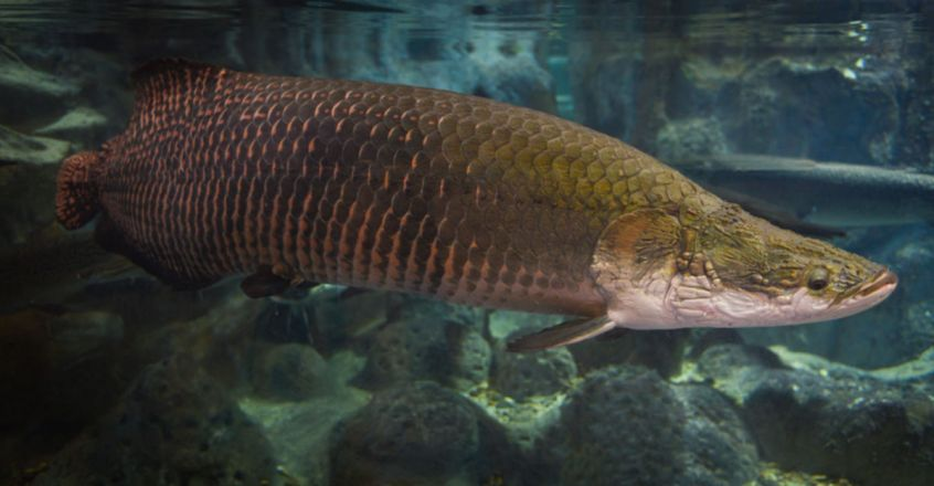Arapaima, The Amazon 'River Monster' That Has Survived For 23 Million Years