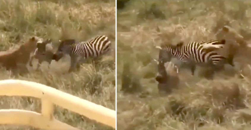 Zebra gets in a fight with lioness to save its friend