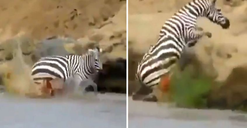 zebra is trying to escape from a giant crocodile