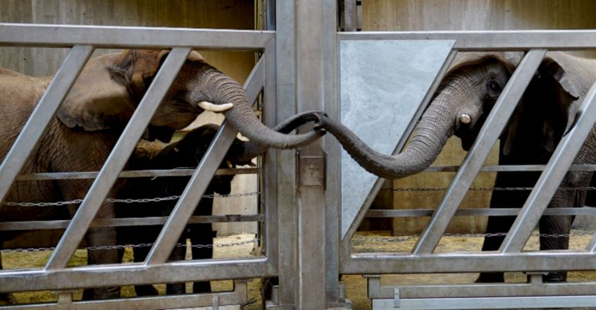 Elephant Touches Trunks With Daughter After 12 Years In Moving Reunion