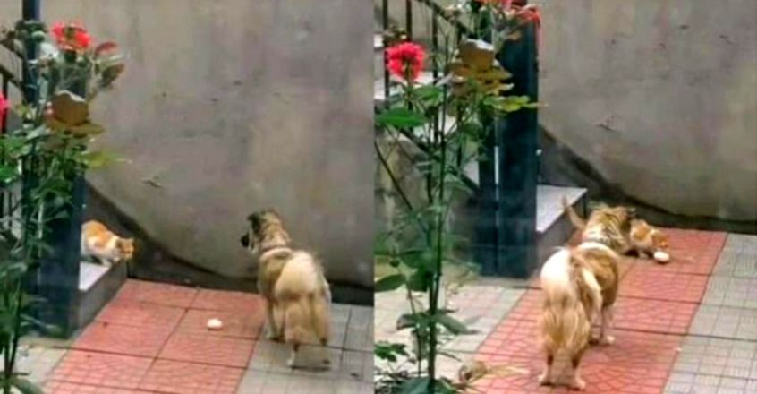 A Kind Dog Taking Food To A Hungry Stray Cat To Feed It