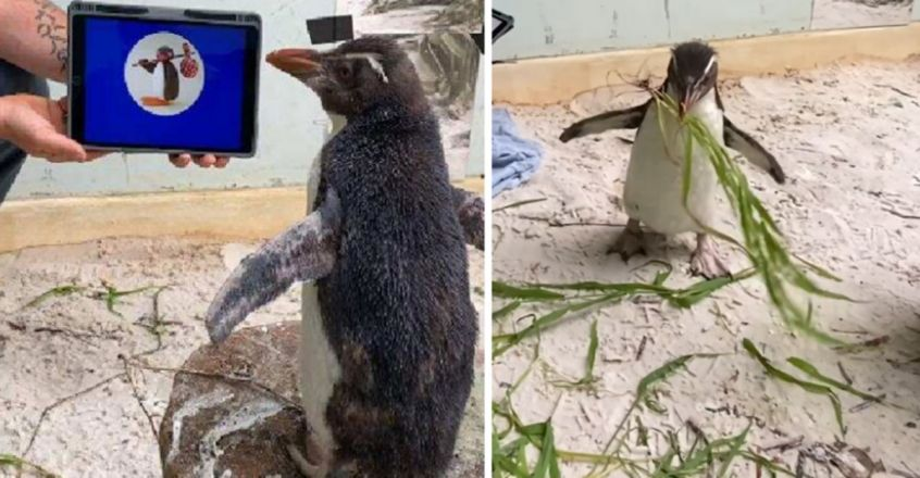 Guess which cartoon Pierre the penguin loves watching?