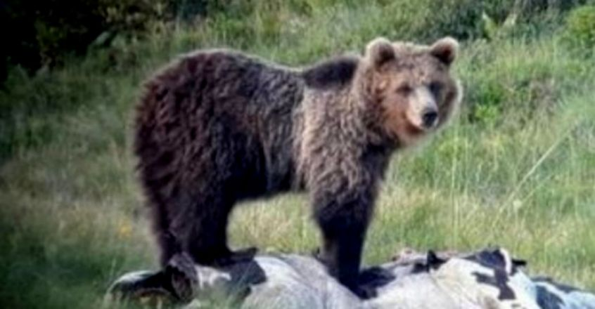 Papillon, Europe's most wanted bear, captured after 42 days on the run