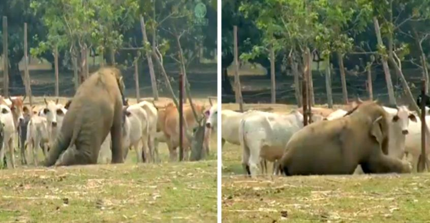 Elephant tries hard to make friends with cows, but fails