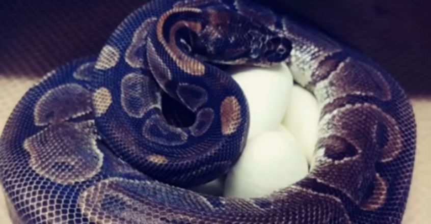 Ball Python Lays Eggs At Zoo. She Had Not Been Near A Male In 15 Years