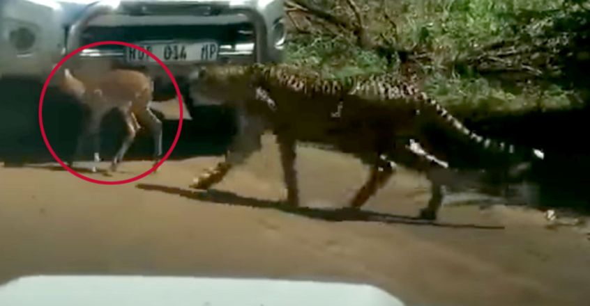 Baby impala tries to hide from cheetahs