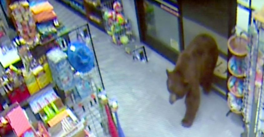 Bears repeatedly break into California store and steal snacks
