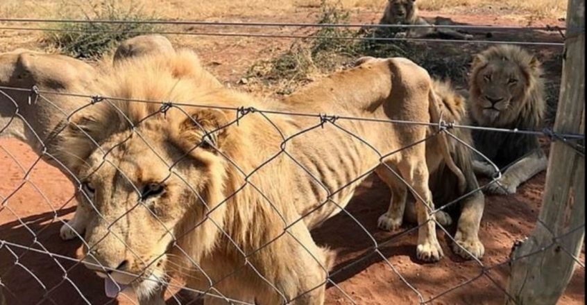 Dramatic moment 10 lions bred to be shot by hunters were rescued from a squalid South African farm