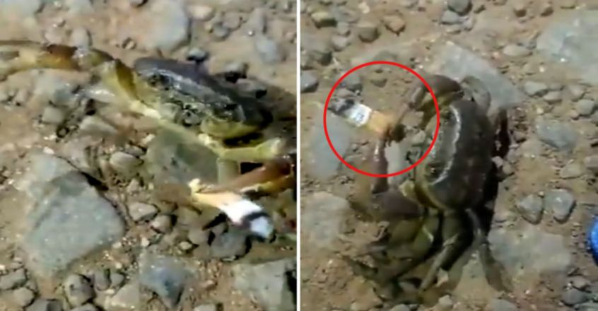 Crab walking around with a cigarette