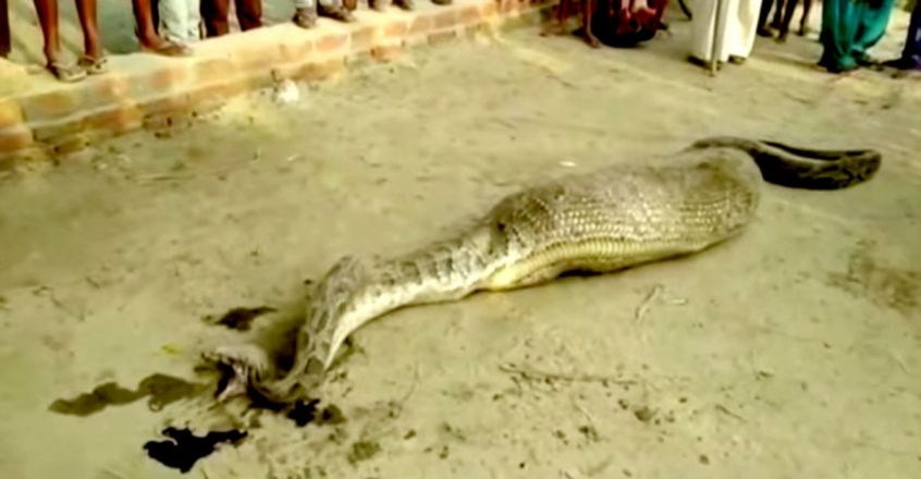 Python has to be rescued after swallowing large prey in UP village
